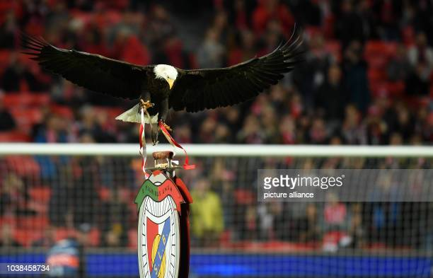 Benfica's eagle 'Vitoria' flies over the stadium before the Champions League round of sixteen soccer match between Benfica Lissabon and Borussia...