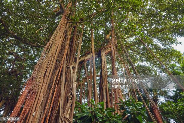 Bengal Banyan tree, Ficus benghalensis