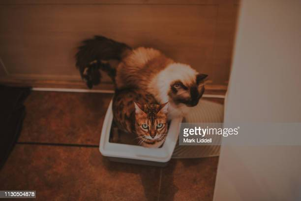 bengal cat and ragdoll cat using the same litter box - defecare foto e immagini stock