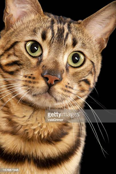 bengal cat, closeup. - bengal cat stock pictures, royalty-free photos & images