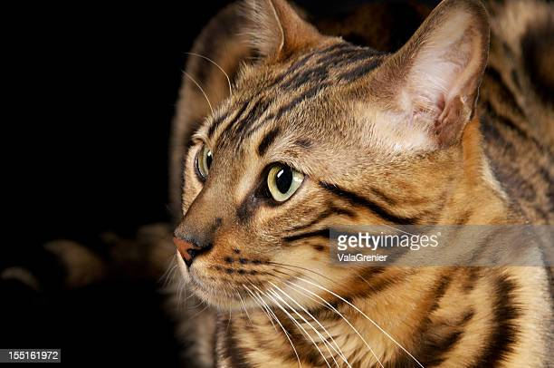 bengal cat closeup, semi-profile. - bengal cat stock pictures, royalty-free photos & images
