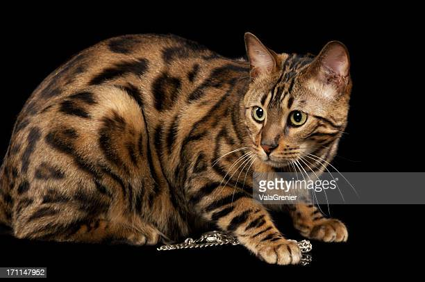 world u0026 39 s best bengal cat stock pictures  photos  and images
