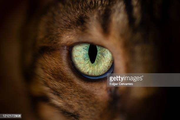 bengal cat eye - bengal cat stock pictures, royalty-free photos & images