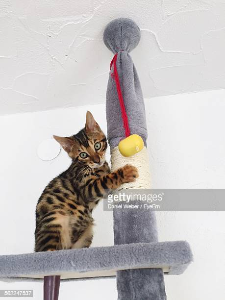 Bengal Cat Holding Pole While Standing Against Wall