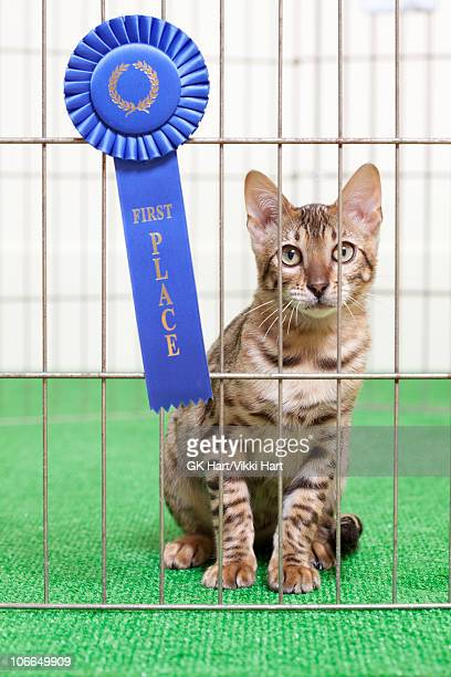 Bengal Cat in cage with First Place Ribbon