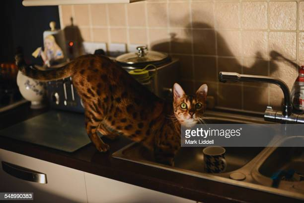 Bengal cat in sink