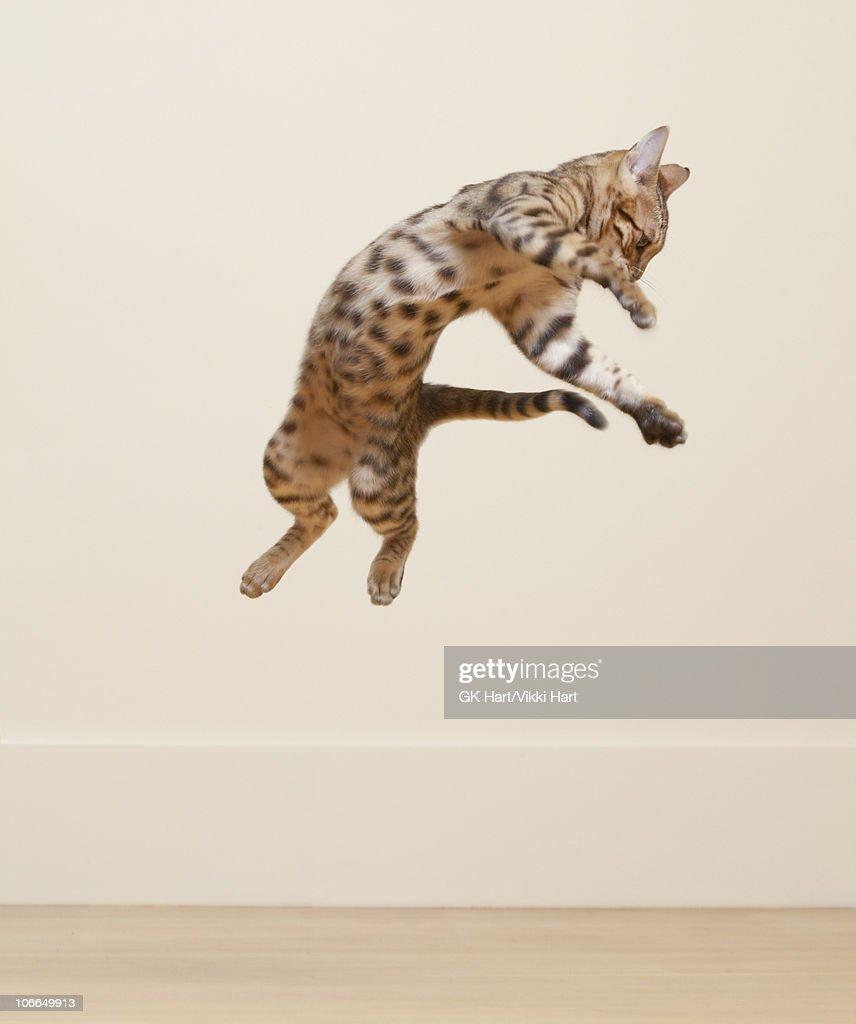 Bengal Cat jumping in the air : Foto de stock