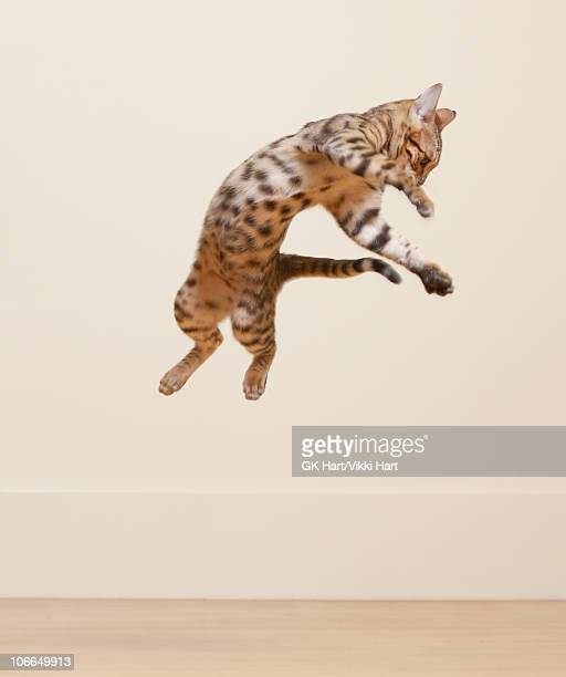 bengal cat jumping in the air - bengal cat stock pictures, royalty-free photos & images
