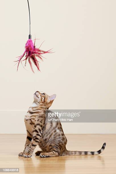 bengal cat looking at feather toy - bengal cat stock pictures, royalty-free photos & images