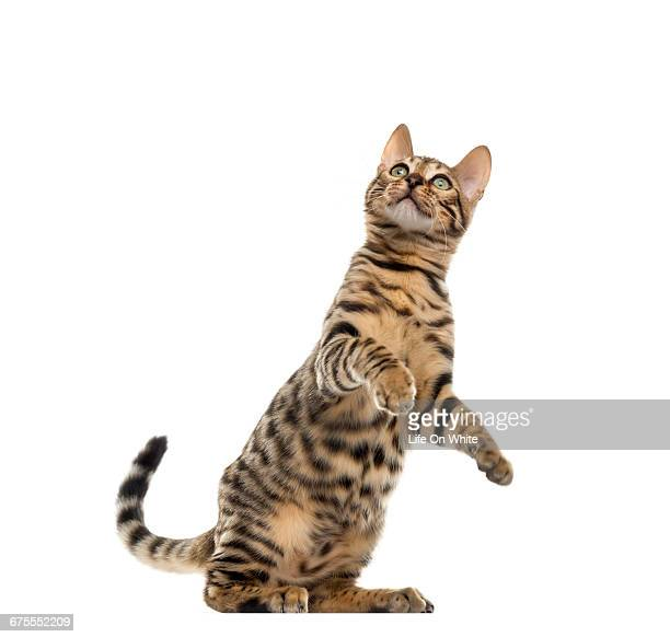 bengal cat looking up - bengal cat stock pictures, royalty-free photos & images