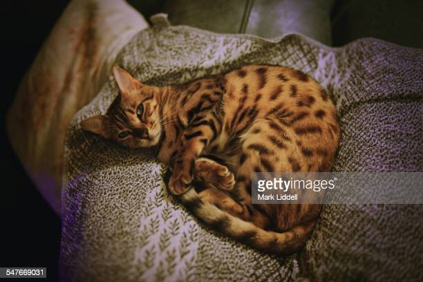bengal cat lying on a towel - bengal cat stock pictures, royalty-free photos & images