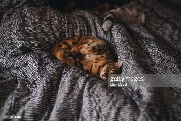 60 Top Bengal Cat Pictures, Photos and Images - Getty Images