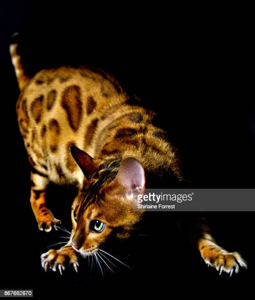 A Bengal cat named Tobysden Pyrrha poses for studio portraits after participating in the GCCF Supreme Cat Show at National Exhibition Centre on...