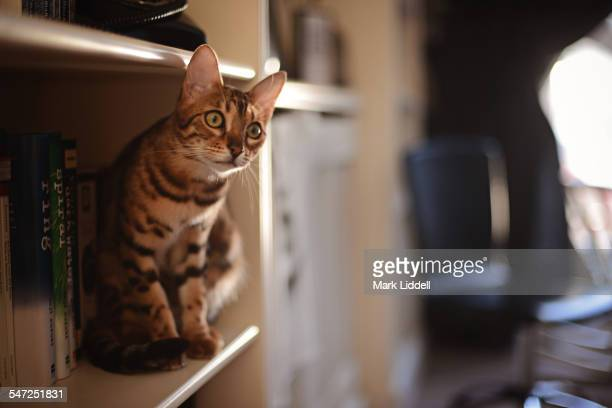 Bengal cat on a bookshelf