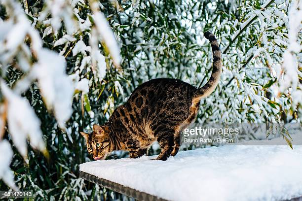 Bengal Cat On Snow Covered Roof