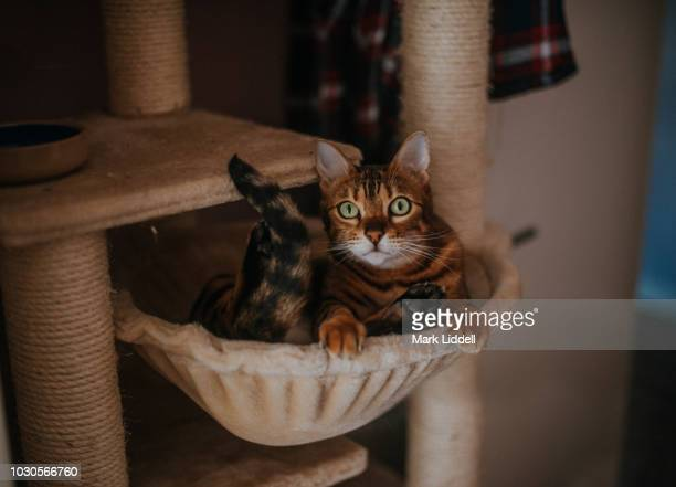 bengal cat peering out from a basket in cat tree climbing frame - bengal cat stock pictures, royalty-free photos & images