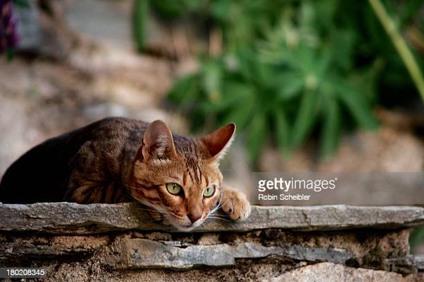 bengal cat - bengal cat stock pictures, royalty-free photos & images