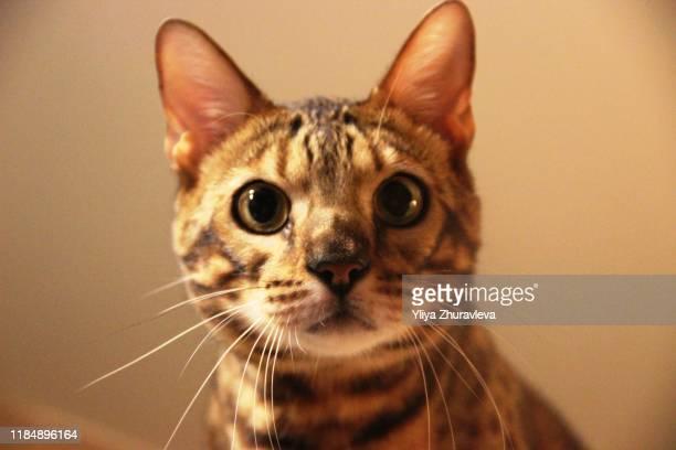 bengal cat portrait muzzle spotted cat