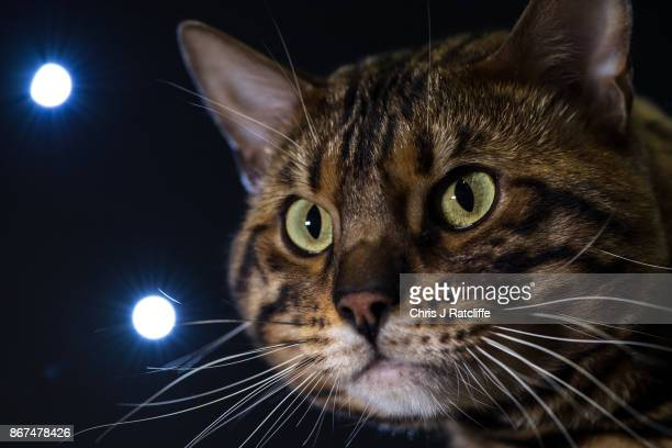 Bengal cat Prince Loaki is pictured in his cage during the Supreme Cat Show on October 28 2017 in Birmingham England The oneday Supreme Cat Show is...