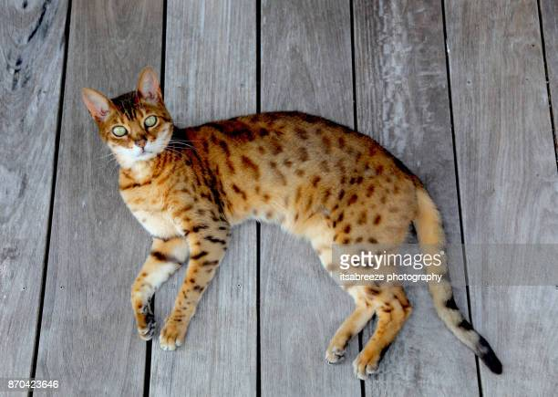bengal cat relaxing - bengal cat stock pictures, royalty-free photos & images