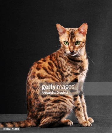 bengal cat sitting highres stock photo  getty images