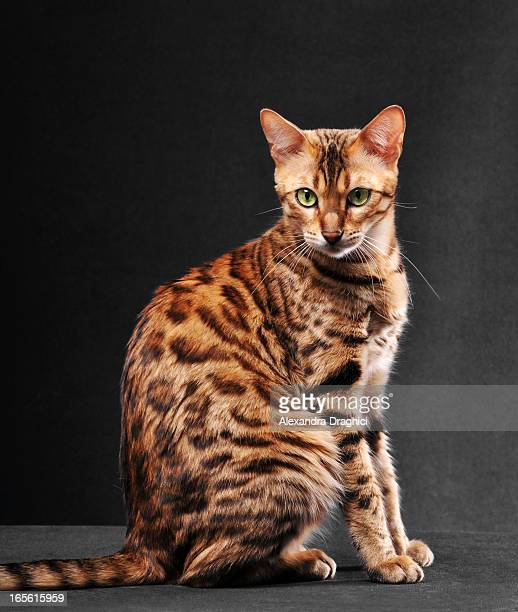 bengal cat sitting - bengal cat stock pictures, royalty-free photos & images