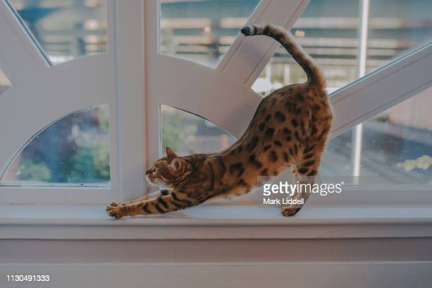 bengal cat stretching on a window ledge - bengal cat stock pictures, royalty-free photos & images