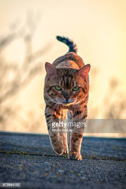 bengal cat walking - bengal cat stock pictures, royalty-free photos & images
