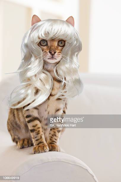 bengal cat wearing a platinum blonde wig - bengal cat stock pictures, royalty-free photos & images