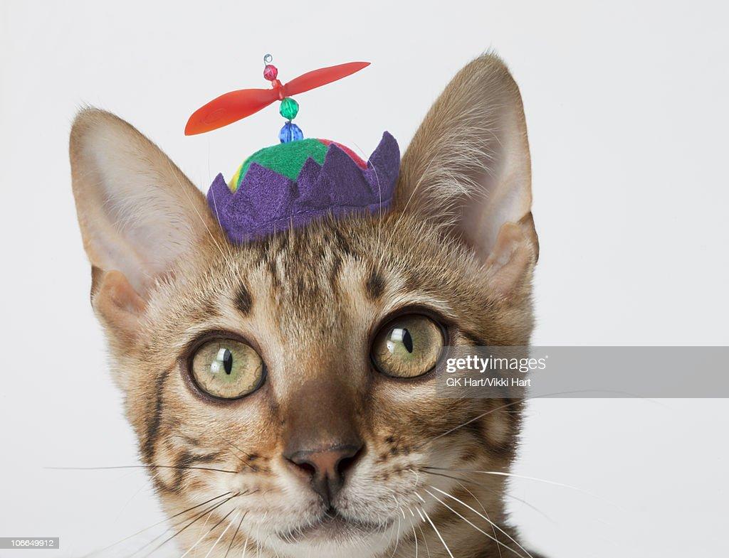 Bengal Cat wearing beanie hat
