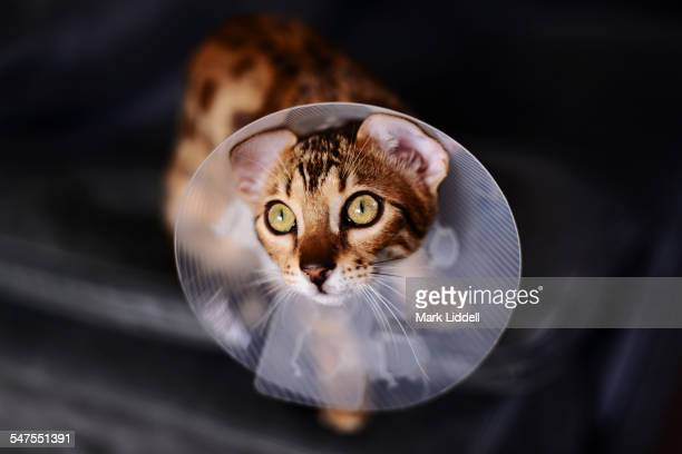 bengal cat wearing medical cone collar - protective collar stock pictures, royalty-free photos & images