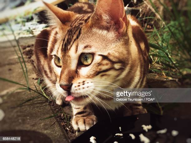 Bengal cat with sticking out tongue