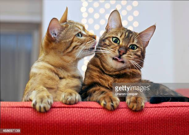 Bengal Cats in conversation