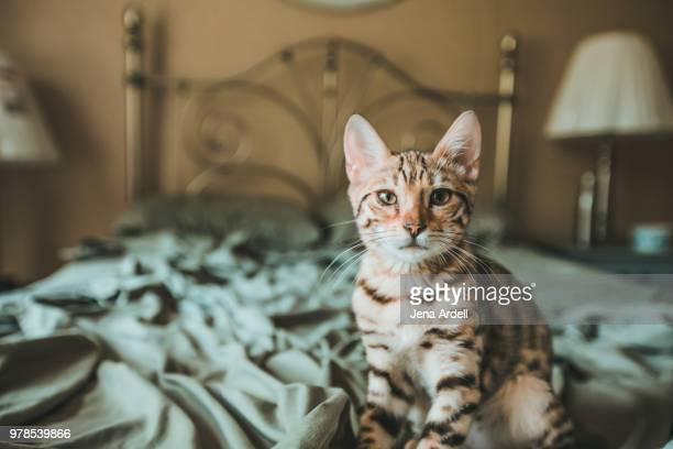 Bengal Kitten Looking At Camera