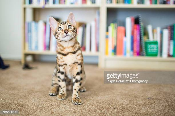 Bengal kitten on carpet indoors