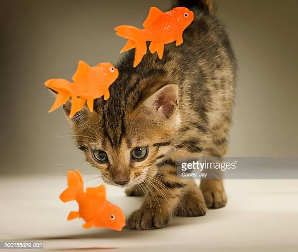 Bengal kitten playing with toy fish, close-up