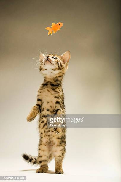 Bengal kitten standing on hind legs, reaching for toy fish, close-up
