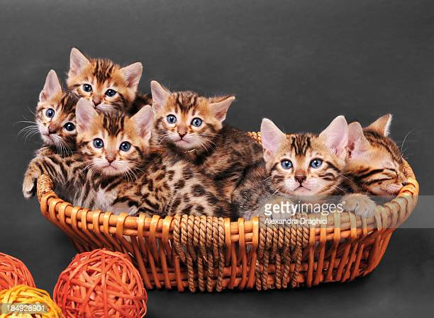 bengal kittens in a basket - young animal stock pictures, royalty-free photos & images