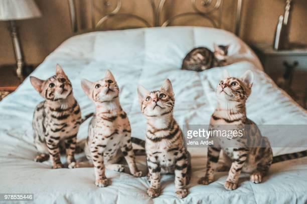 bengal kittens in a row - bengal cat stock pictures, royalty-free photos & images