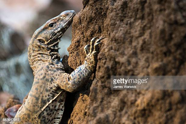 bengal monitor lizard on termite hill - bandhavgarh national park stock pictures, royalty-free photos & images