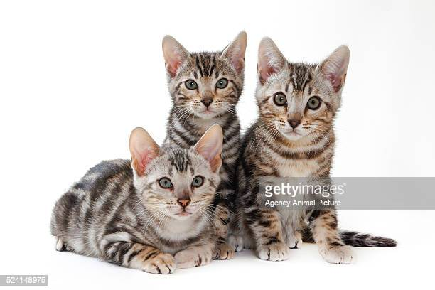 bengal - three animals stock pictures, royalty-free photos & images