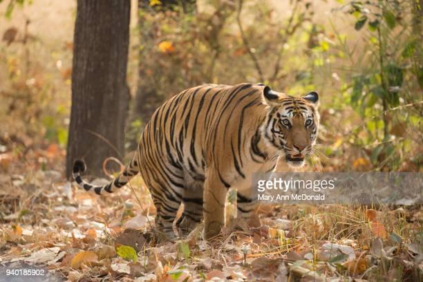 bengal tige - マーキング ストックフォトと画像