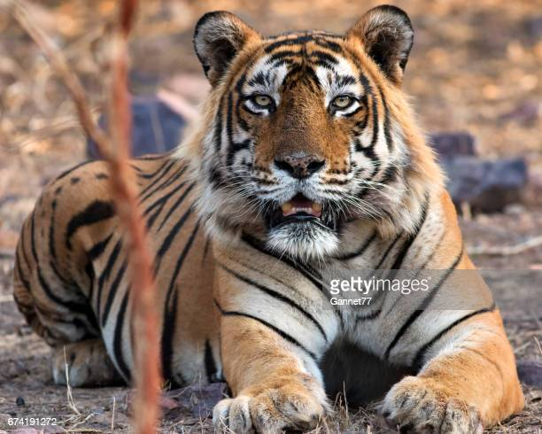 Bengal Tiger at Ranthambhore National Park in Rajasthan, India