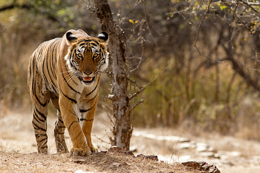 Bengal Tiger at Ranthambhore National Park in Rajasthan, India 674191480