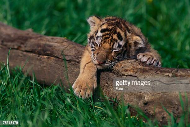 bengal tiger cub asleep on fallen tree - tiger cub stock photos and pictures