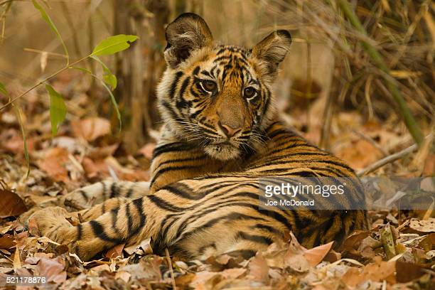 bengal tiger cub in forest - animals in the wild stock pictures, royalty-free photos & images