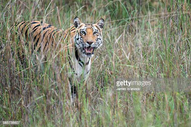 bengal tiger cub in long grasses - bandhavgarh national park stock pictures, royalty-free photos & images