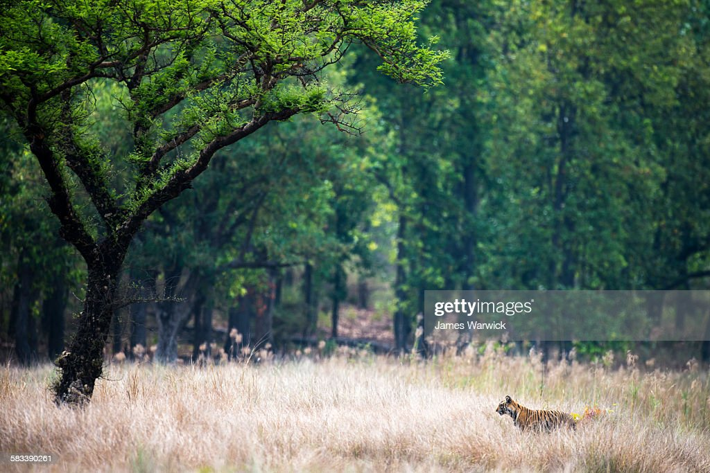 Bengal tiger cub in meadow by 'khair' tree : Stock Photo