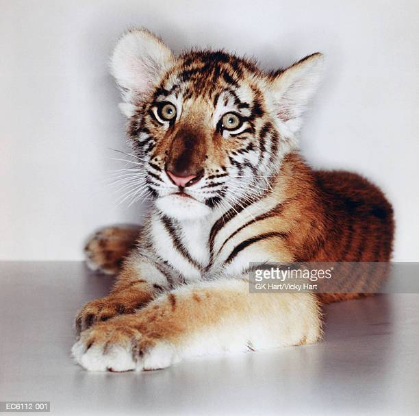 Bengal tiger cub (Panthera tigris tigris) lying down on white surface