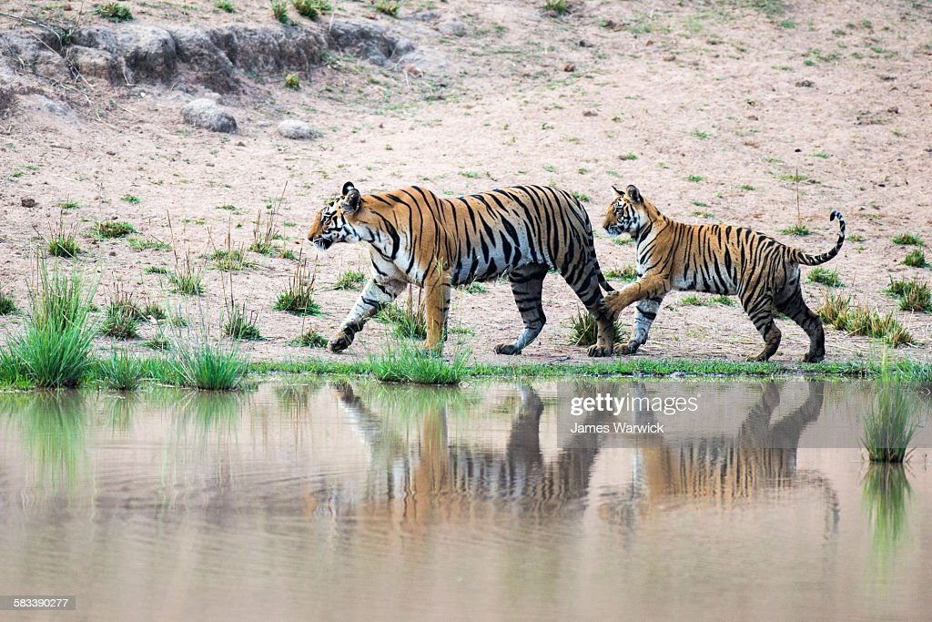 Bengal tiger cub playing with mother : Stock Photo